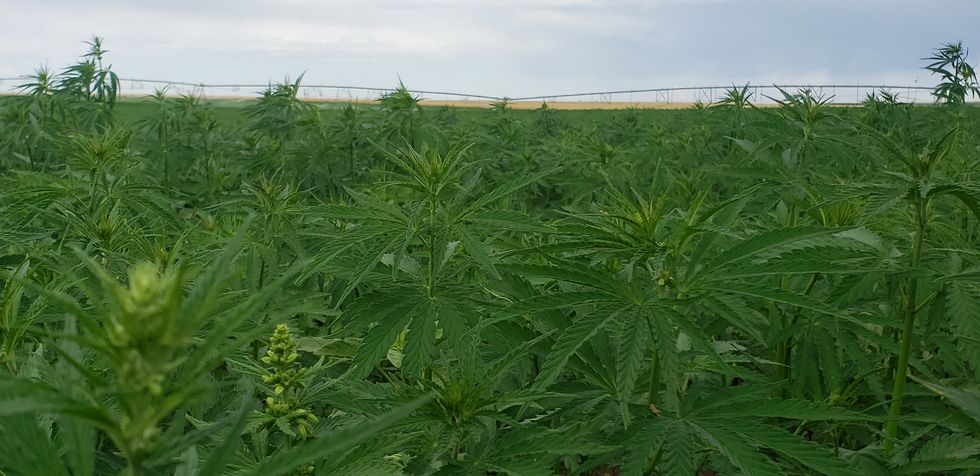Hemp Farm blooming in the middle of summer