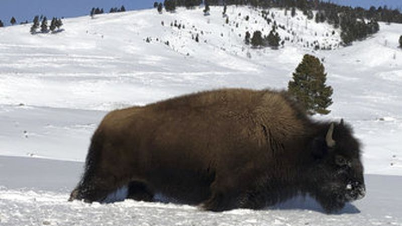 FILE - In this Feb. 17, 2020, file photo, a bison walks through the snow in Yellowstone...