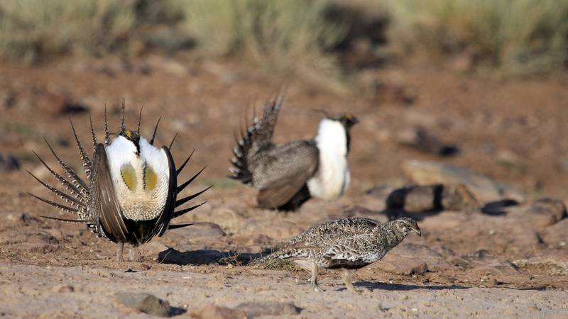 This is a U.S. Department of Interior photograph of three sage grouse.