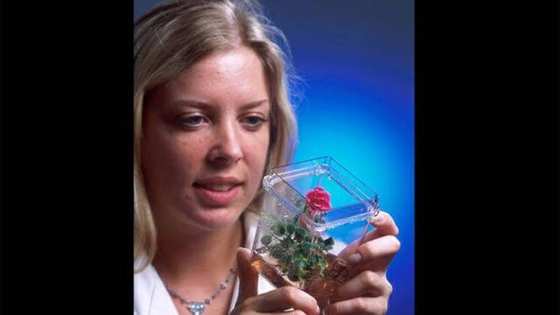 A biotech technician examines a rose plant that began as cells grown in a tissue culture....