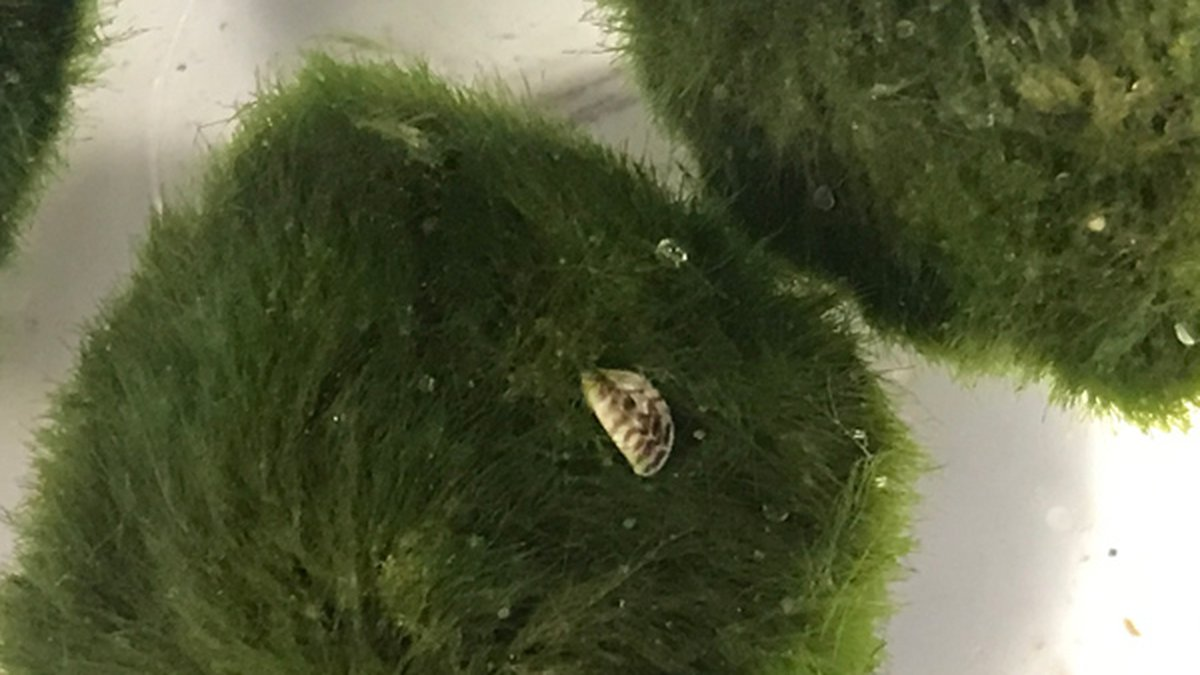 Moss ball with zebra mussel