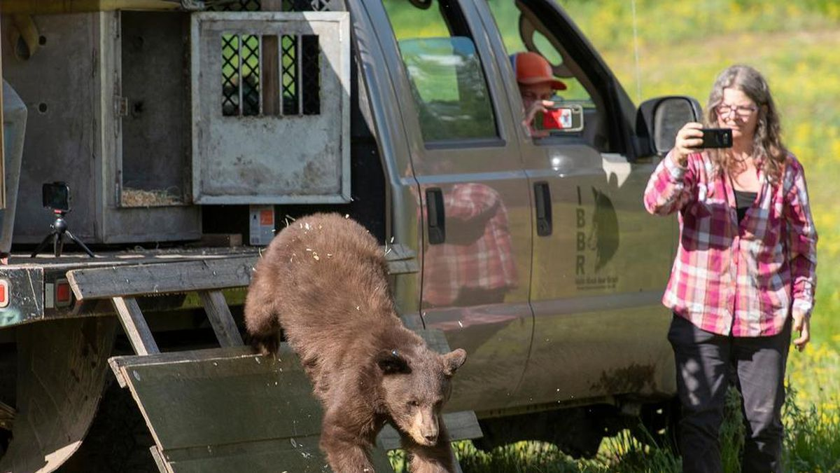 A young black bear hops down from its cage after being released Thursday, June 18, 2020 at Squirrel Meadows, about 25 miles east of Ashton, Idaho, and just south of Yellowstone National Park. The bear had been orphaned last fall as a cub and was near starvation when it was captured in outside a home in Jackson, Wyoming. Normally the Wyoming Department of Fish and Game would euthanize an animal in such poor condition, but the agency decided to send this bruin to Idaho Black Bear Rehabilitation in Boise to see if it could be saved. (Bradly J. Boner/Jackson Hole News & Guide via AP)