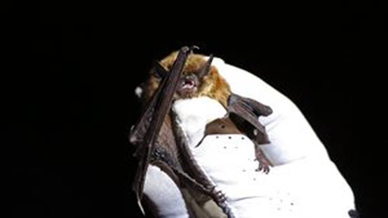 White-nose syndrome detected in bats at Devils Tower National Monument