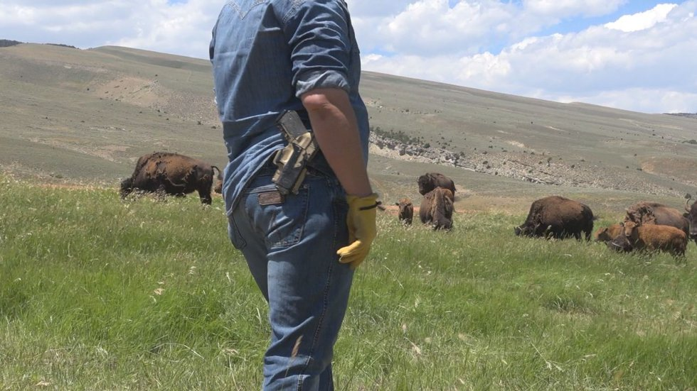 Josh Kirk, rancher at the base of the Wind River Mountain Range, protects the herd of bison...