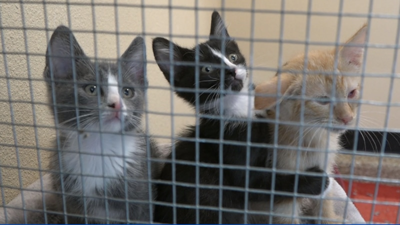 Kitties wrestle and play at Black Dog Animal Rescue