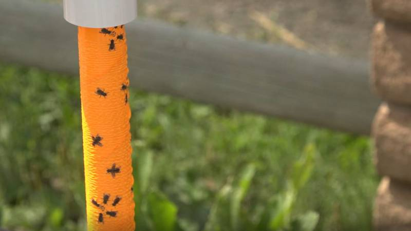 """A """"sticky fly trap"""" that the Environmental Health Division uses for fly control during CFD."""
