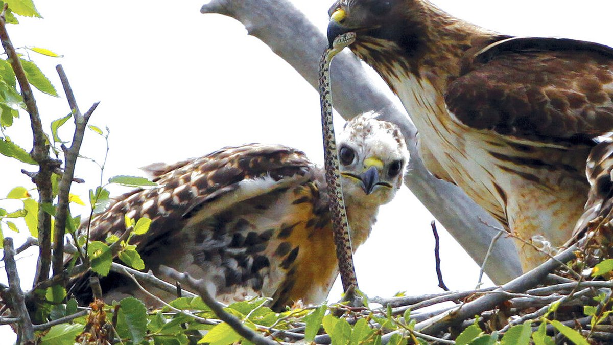 FILE - This June 5, 2009, file photo shows a Redtail hawk feeding a snake to one of her young...