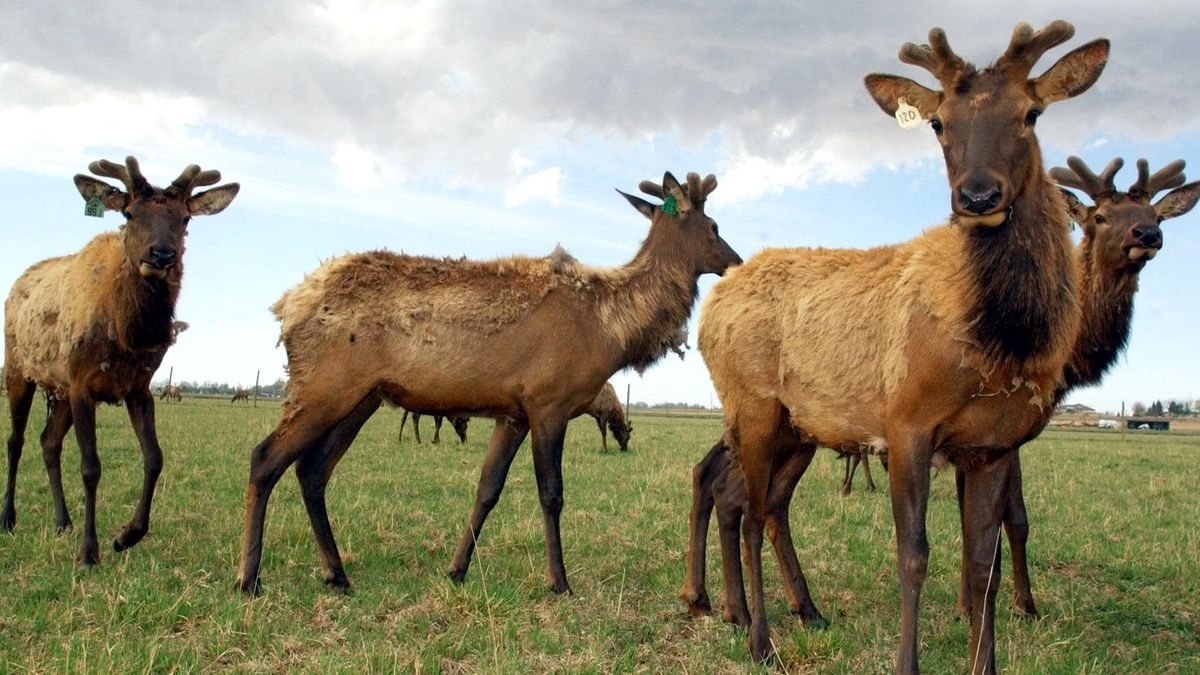 Elk showing symptoms of chronic wasting disease, photo