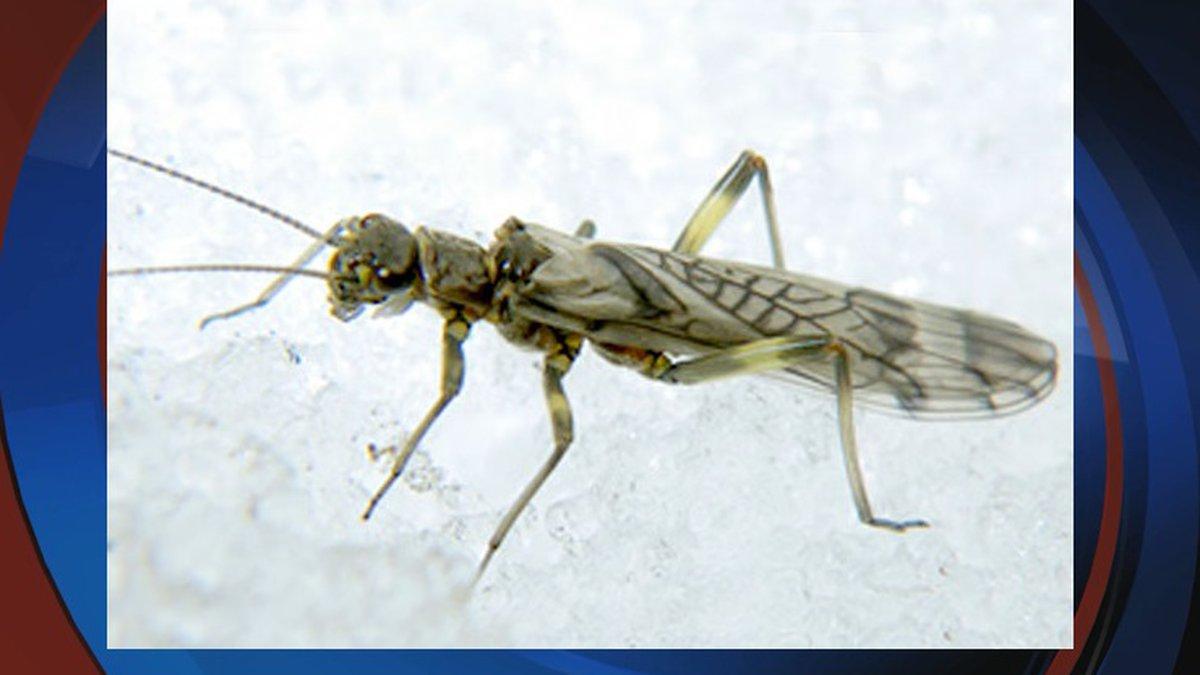 Western Glacier Stonefly