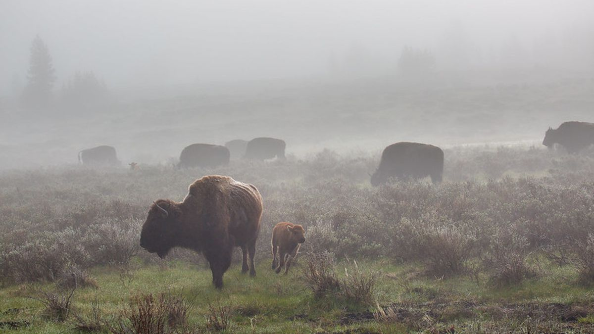 Bison in the fog, Swan Lake Flat in Yellowstone National Park.