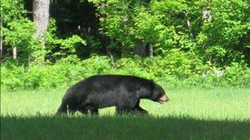 © File photo: Black bear