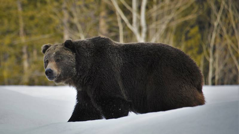 In this 2019 photo provided by the U.S. Fish and Wildlife Service is a grizzly bear (Ursus...