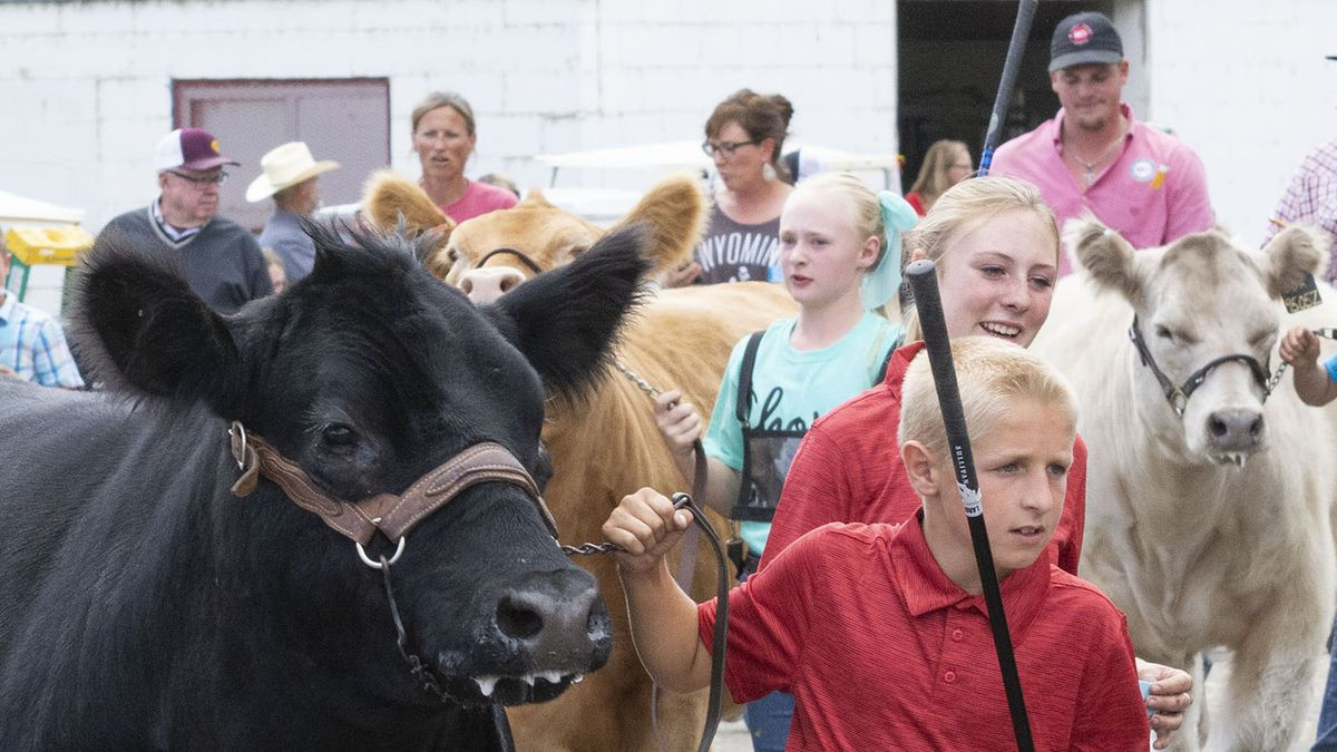 4-H'ers lead their entries into arena during the Youth Beef Fitting Contest Wednesday at the Wyoming State Fair in Douglas.