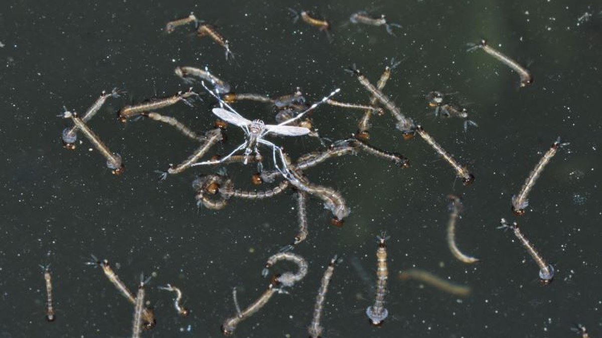 Mosquito larvae (Source: Flickr Commons)